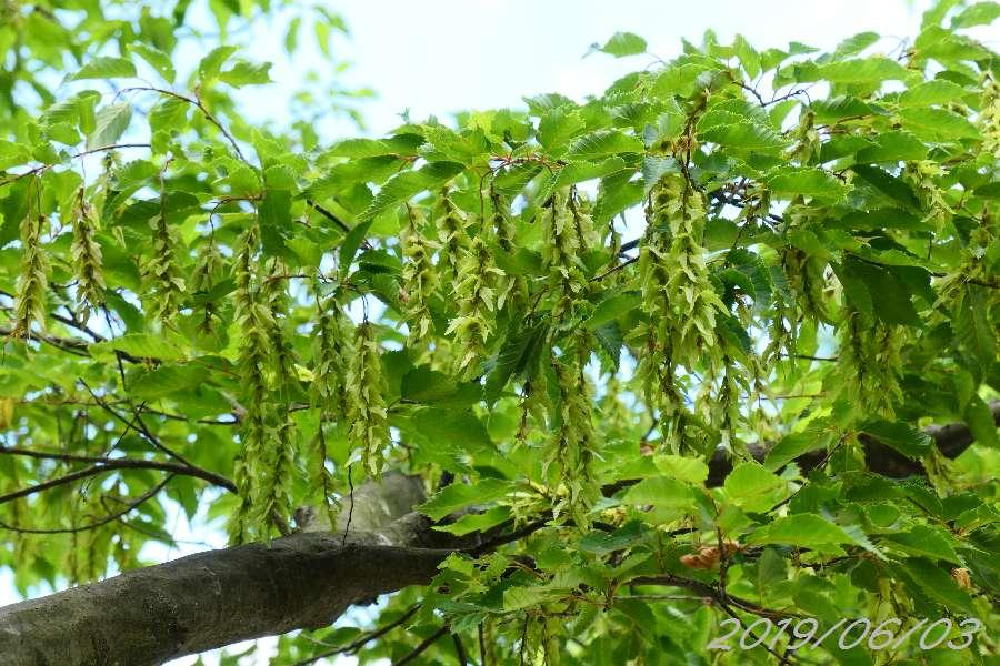 アカシデの花穂