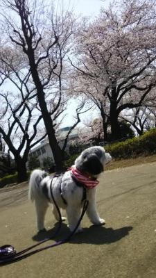 2019春桜