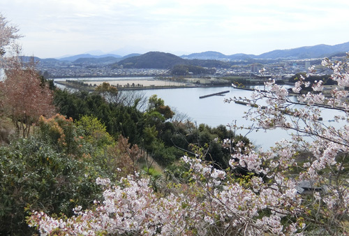桜、散り始めですよ。