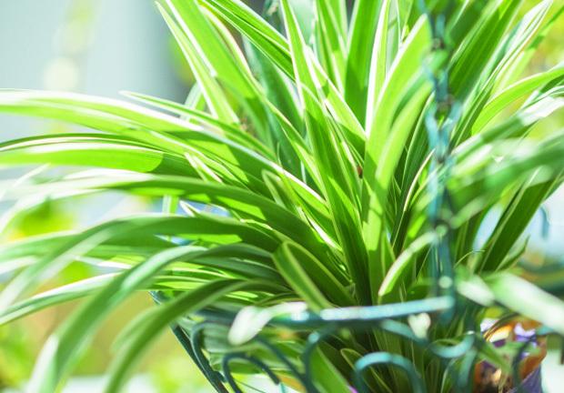 観葉植物オリズルランイメージ