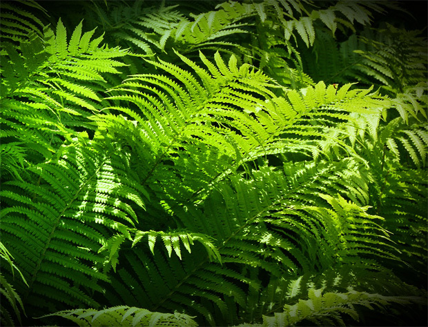 シダのある原生林イメージ風景