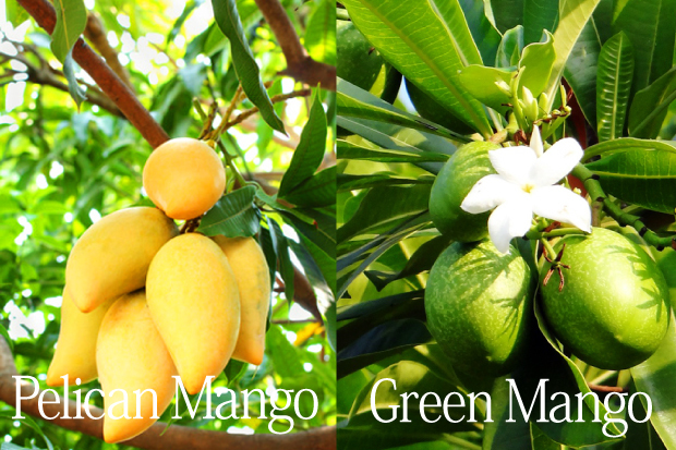 ペリカンマンゴーとグリーンマンゴー