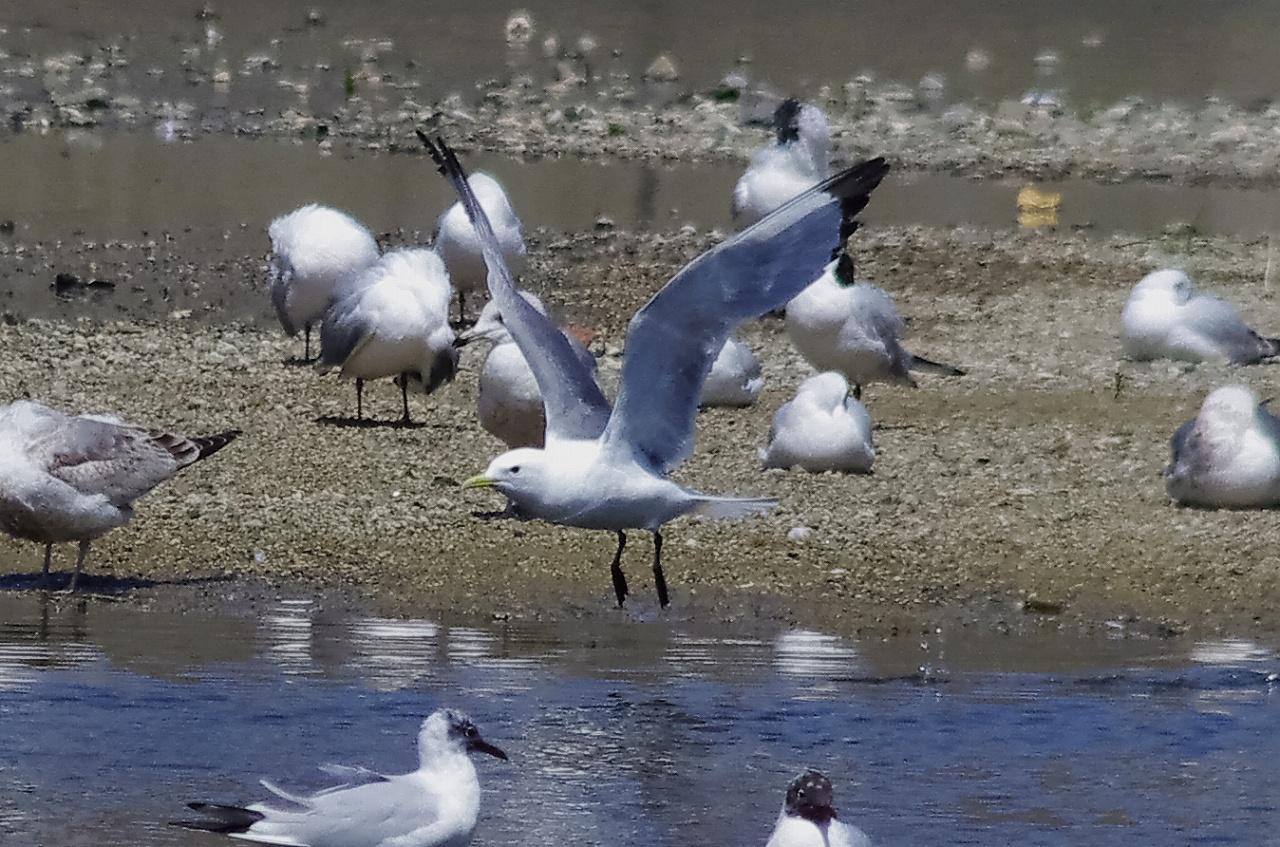 190408ミツユビカモメ成鳥夏羽大和川8