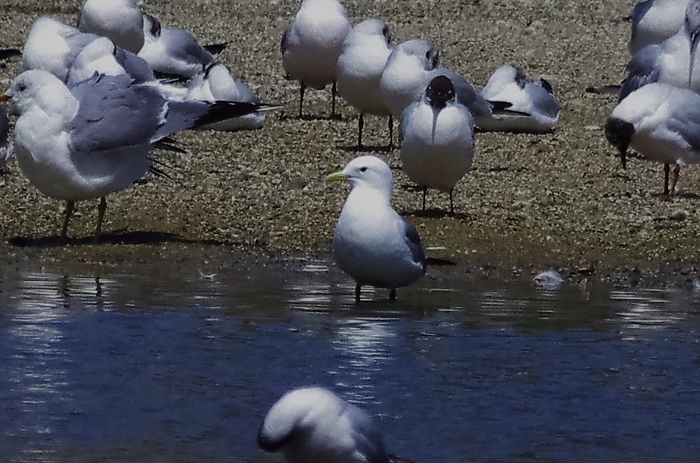 190408ミツユビカモメ成鳥夏羽大和川