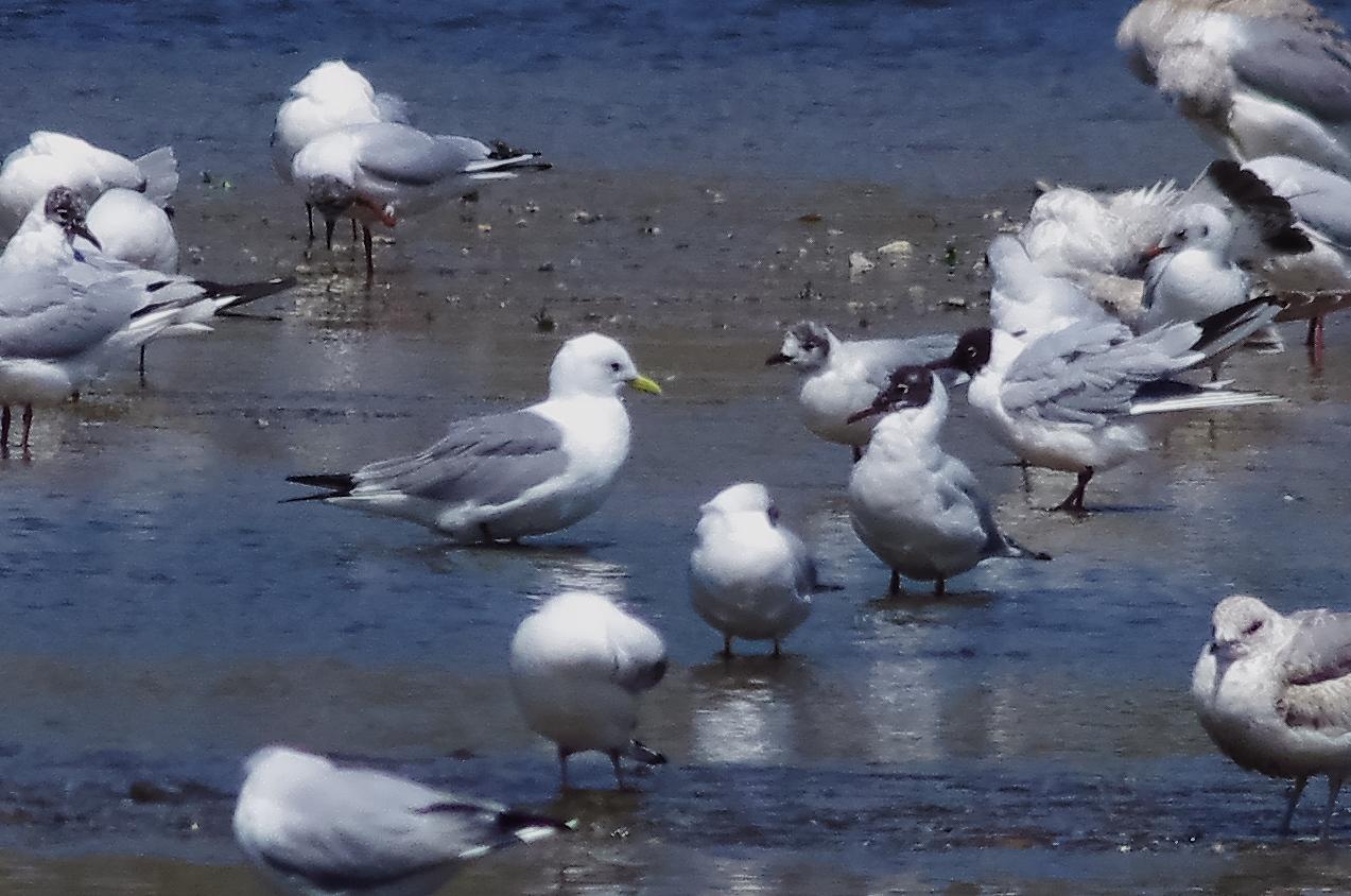 190408ミツユビカモメ成鳥夏羽大和川1