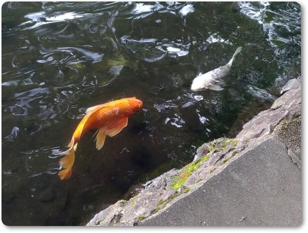 一碧湖の鯉と金魚?