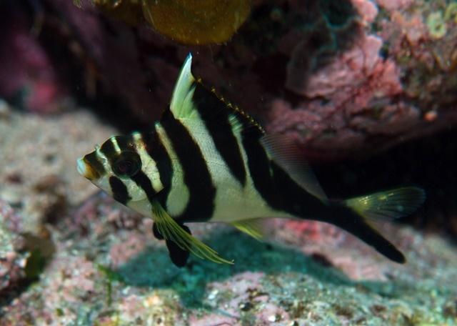 ミギマキ幼魚web