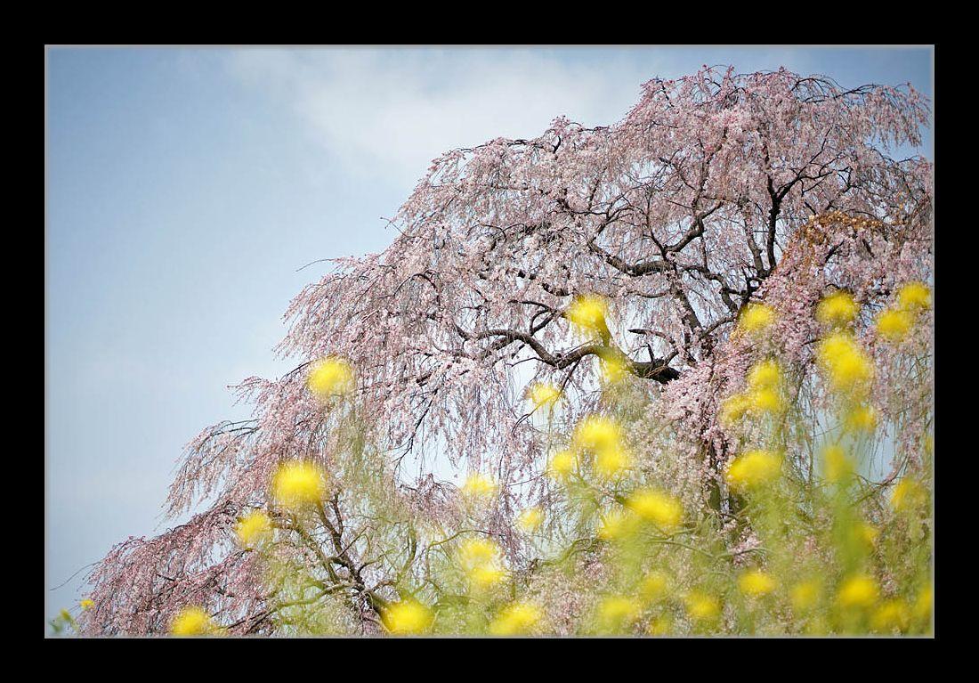 しだれ桜に菜の花