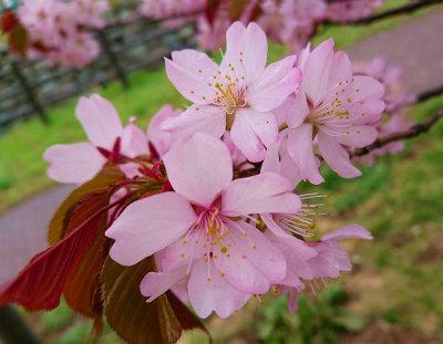 2019年宮の沢桜