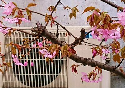2019年宮の沢桜5 (2)