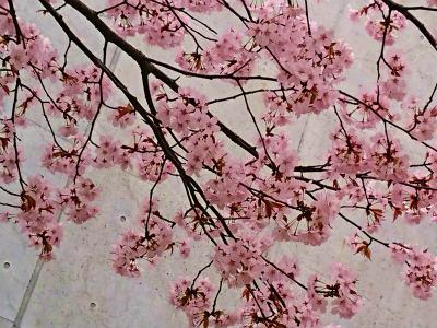 2019年宮の沢桜5