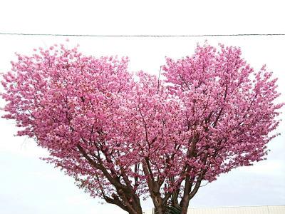 2019寿埼さん桜