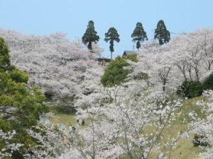 開山桜2019-2