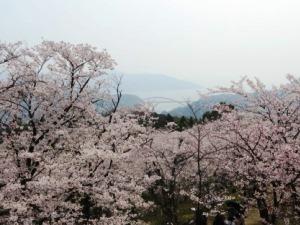 開山桜2019-3