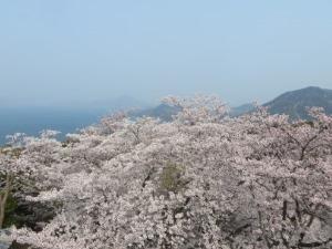 開山桜2019-5
