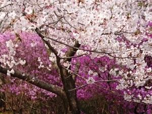 開山桜2019-6