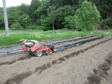 ピーマン畑の畝