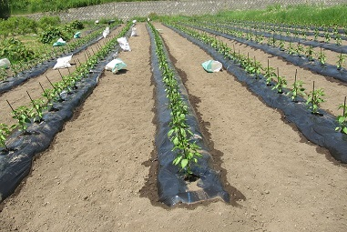 ピーマン苗の定植