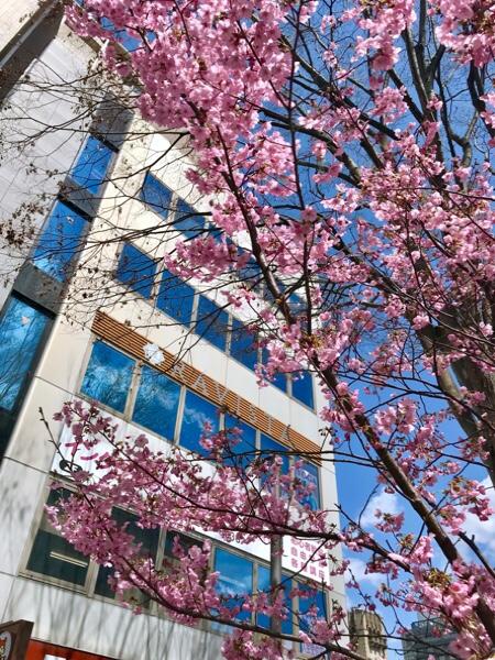RAVISTA二条ヨガスタジオの前の桜! 京都ヨガ