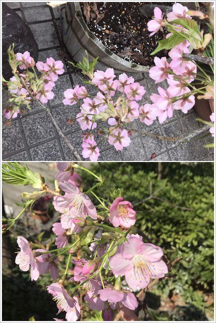 2019 河津桜