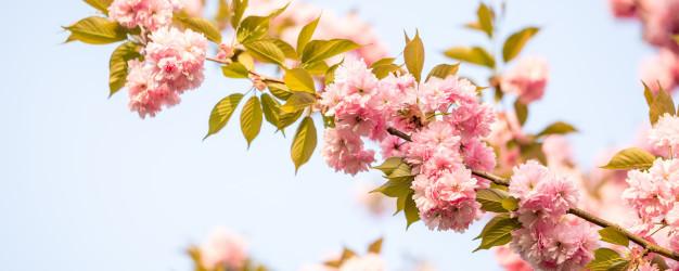 beautiful-cherry-blossom-sakura_80013-2055.jpg