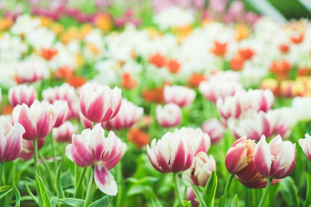 beautiful-colorful-tulips-garden_1339-63191.jpg