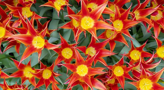 beautiful-red-tulips-tulipa-sprengeri_73152-2076.jpg