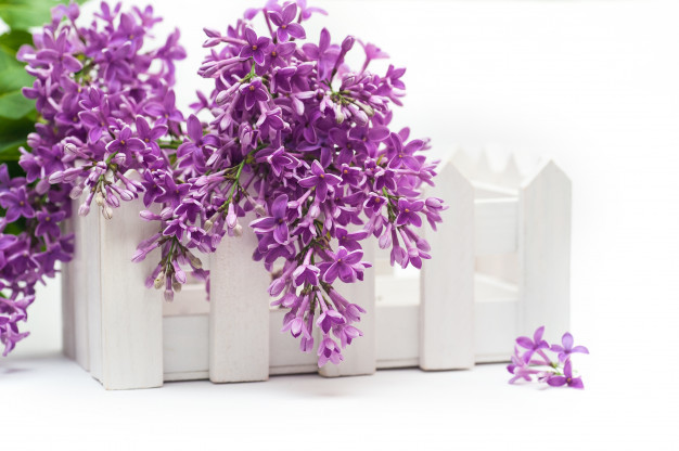 beautiful-spring-lilac-small-fence-white-background_81863-2.jpg