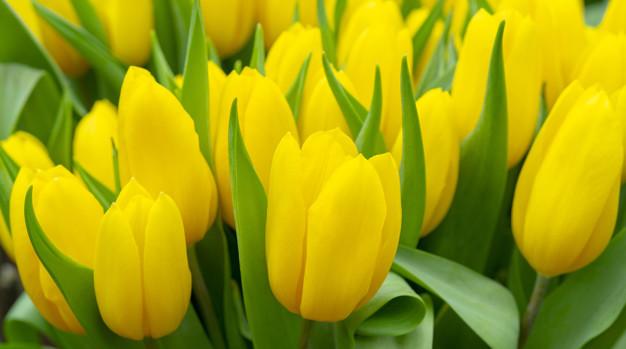 beautiful-yellow-tulips_73152-2057.jpg