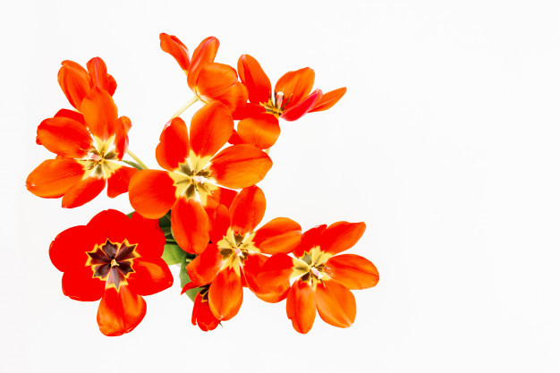 bouquet-red-tulips-with-open-buds-white-background_98725-272.jpg