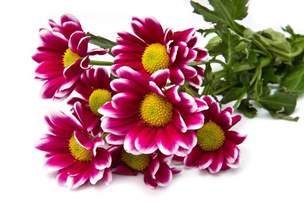 bunch-pink-daisies_95419-239.jpg