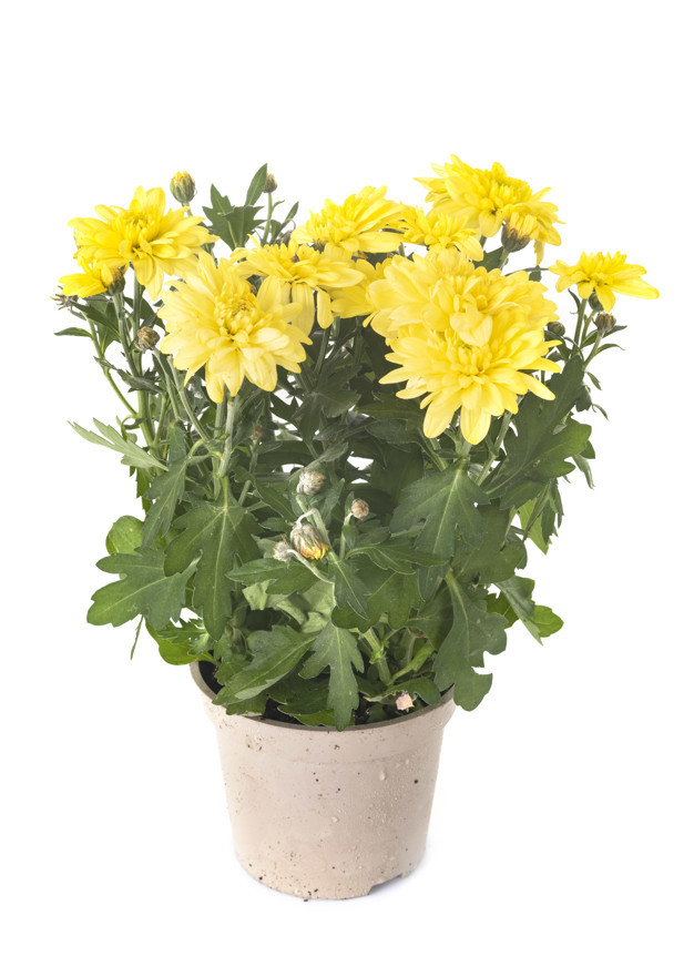 chrysanthemum-studio_87557-4271.jpg