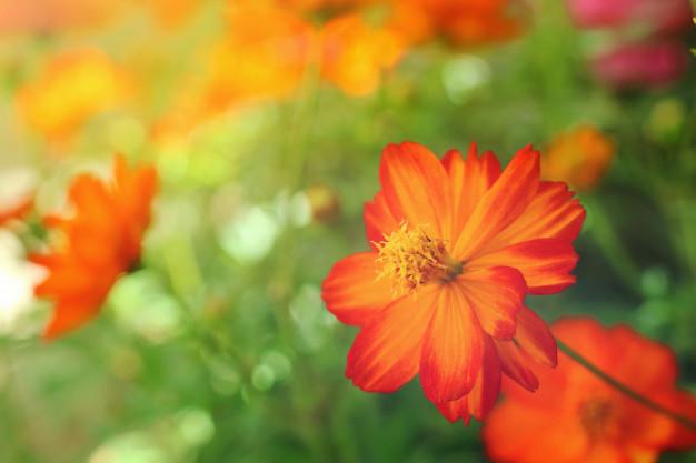 close-up-beautiful-orange-yellow-cosmos-flower_32485-355.jpg