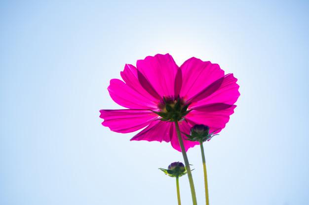 cosmos-flower-cosmos-bipinnatus-garden_33996-791.jpg