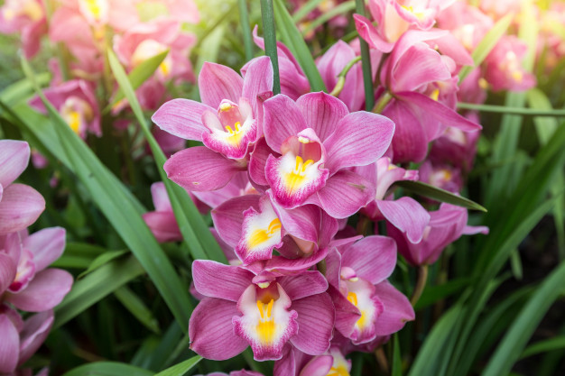 cymbidium-orchid-boat-orchid-have-highly-decorative-flower-spikes_54401-360.jpg