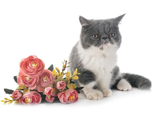 exotic-shorthair-kitten_87557-4219.jpg