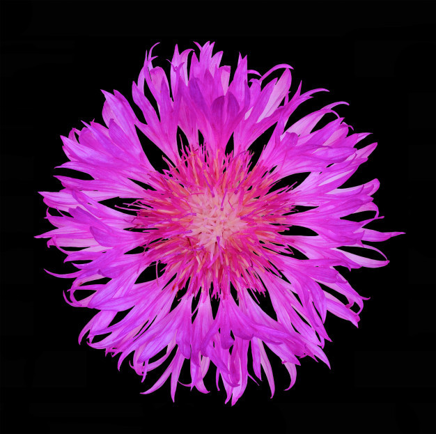 flower-cornflower-isolated-black-background-top-view-close-up-flat-lay_98725-297.jpg