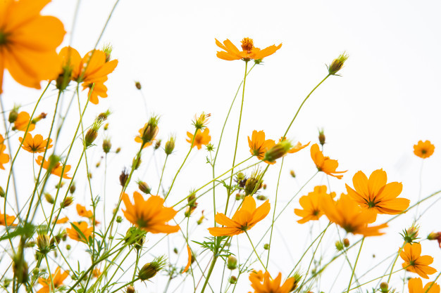 marigolds-white-background-isolate_44353-1120.jpg