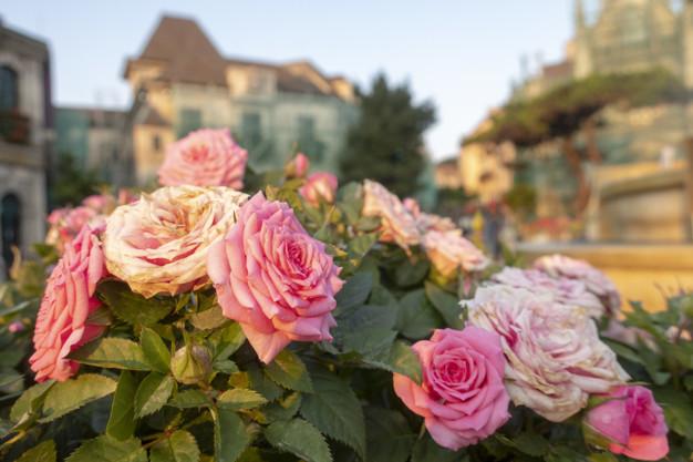 pink-fairy-roses-are-garden_37429-243.jpg