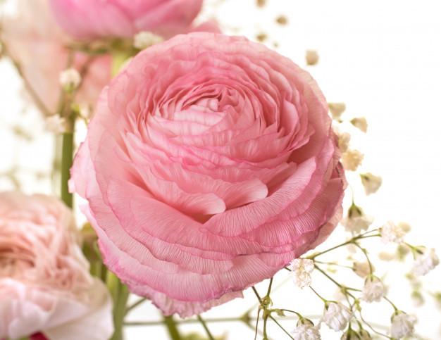 pink-ranunculus-asiaticus_87557-3352.jpg