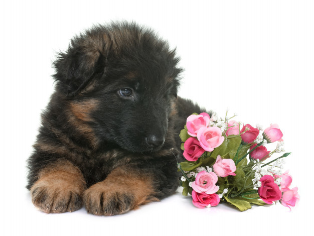 puppy-german-shepherd_87557-4139.jpg