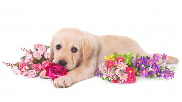 puppy-labrador-retriever_87557-3490.jpg