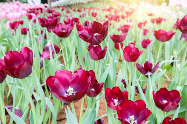 red-tulips-field-warm-sunny-spring-day-garden_54401-368.jpg