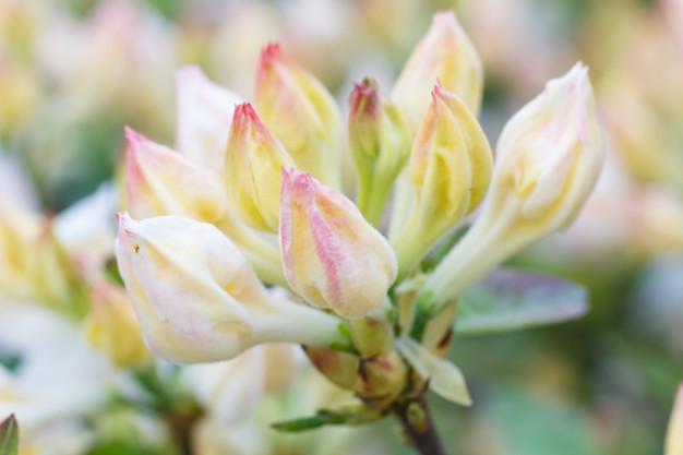 rhododendron-azalea-buds-purple-color-spring-garden_71985-1043.jpg