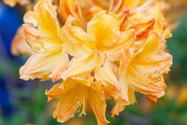 rhododendron-azalea-flowers-various-colors-spring-garden_71985-1041.jpg
