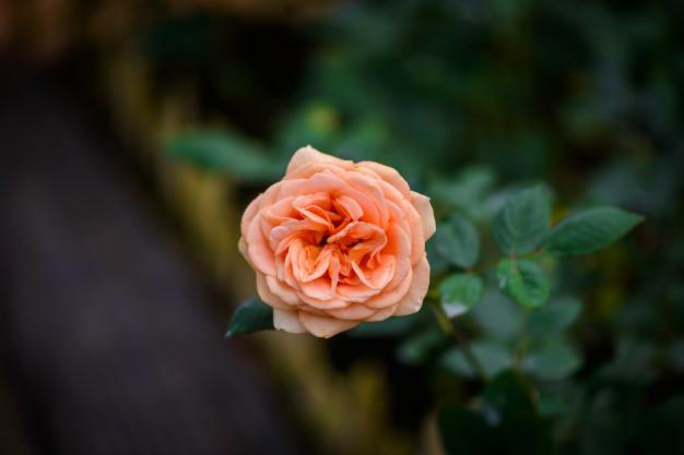 rose-with-buds-romantic-flower-garden_35355-2656.jpg