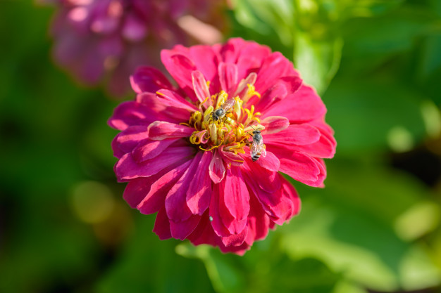 vivid-close-up-zinnia-flower_35355-2640.jpg