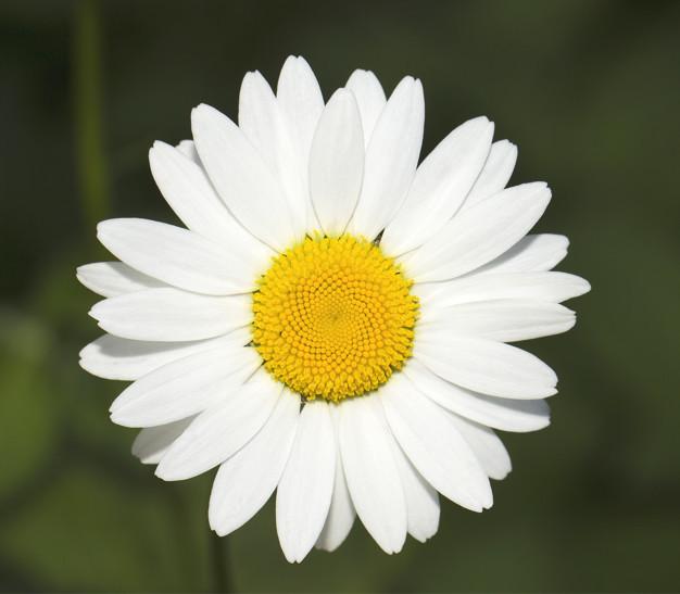 white-fine-camomile-close-up_102618-12.jpg