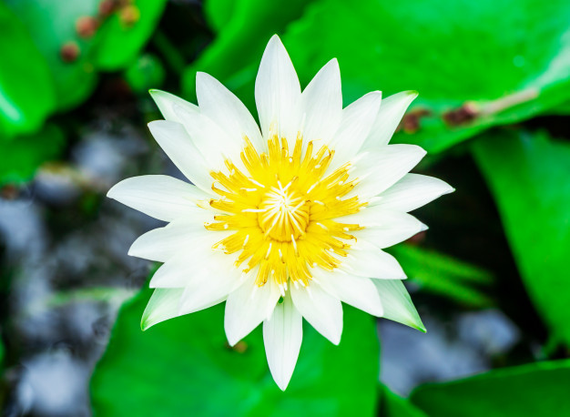 white-lily-water-lotus-flower-basin-very-fresh_37803-283.jpg