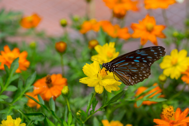 yellow-butterfly-catch-on-yellow-cosmos-flowers_43300-858.jpg